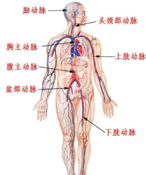 腹部脏器图手绘